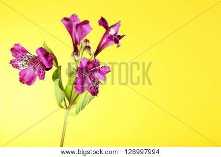 Beautiful Alstroemeria Flowers On A Yellow Background