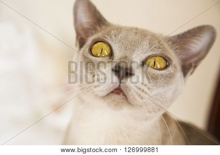 Close-up picture of young Burmese cat face