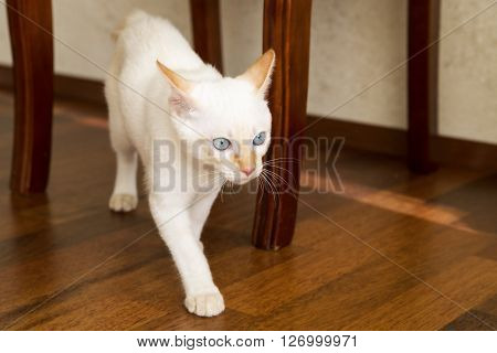 White young cat crawling under the chair