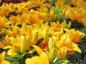 stock photo of asiatic lily  - lilies for sale at a local nursery - JPG