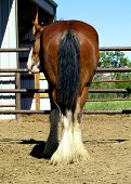 picture of rear-end  - picture of a clydesdale horse - JPG