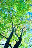 Постер, плакат: Зеленые деревья лета