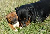 image of pit-bull  - sleeping purebred mastiff rottweiler and staffordshire bull terrier - JPG