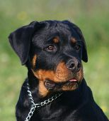 Pup Rottweiler