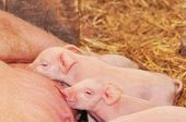 foto of mammary  - Big momma pig feeding the small kids - JPG