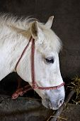 foto of lipizzaner  - white lipizzaner horse with bridle in stable - JPG