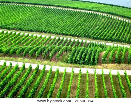 Rows of vine