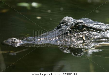 Alligator01