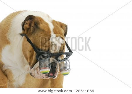 funny dog wearing glasses - english bulldog wearing silly google eye glasses on white background
