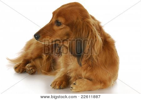 cute dog - long haired dachshund laying down looking off to the side on white background