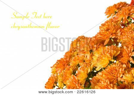 Chrysanthemums On White Background With Room For Text