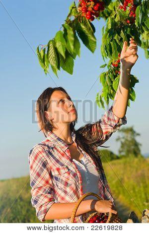 Cherry Tree Woman Reaching High Branch Summer