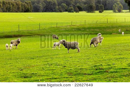 Sheep on the meadow