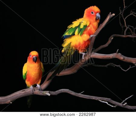 Sun Conures Fluffed Up On A Branch
