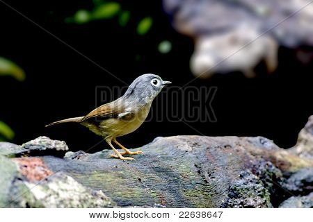 White-eyed Nun babbler
