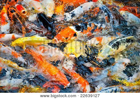 colorful koi carps in a feeding frenzy
