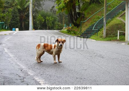 Stray Dog - Puerto Rico