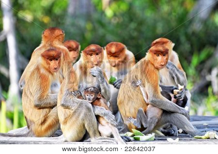 Group Of Proboscis Monkeys