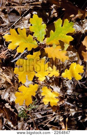Autumn Oak Seedlings