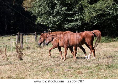 Arabian Horse an a Pasture