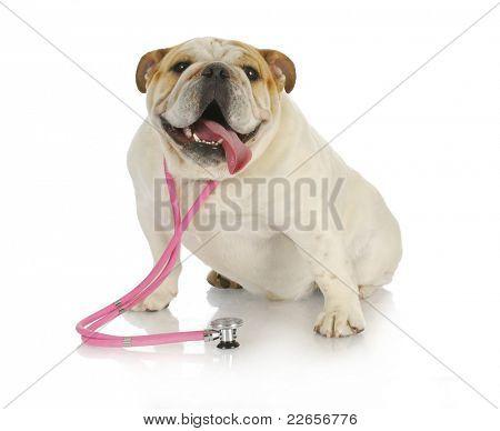 veterinary care - english bulldog wearing pink stethoscope on white background