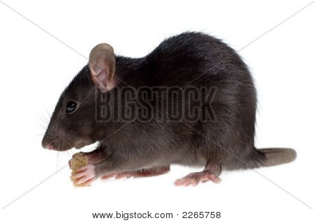Rata hambrienta