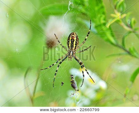 Wasp spider (Argiope bruennichi) with victim