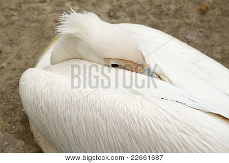 Pelican In Zoo