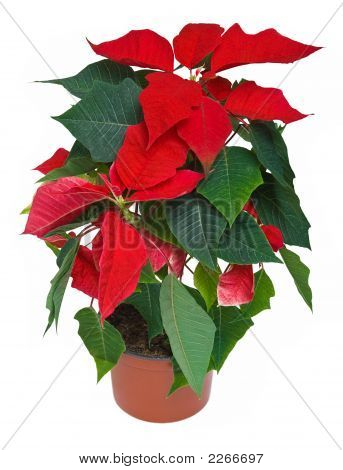 Poinsettia - Christmas Flower Isolated On White Background
