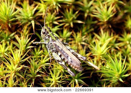 Grasshopper (Caelifera) On Green Moss