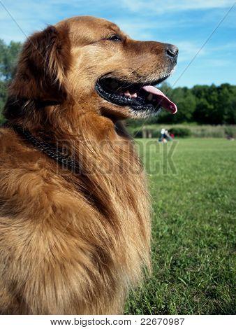 Golden Retriever Dog Face Tongue Park