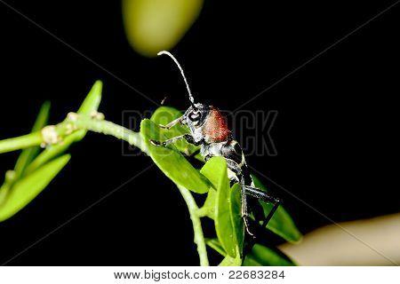 A Long-horned Beetle