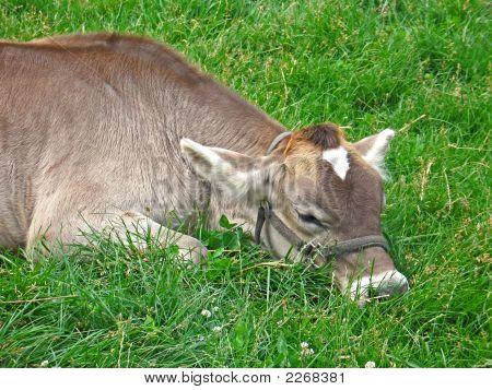 Jersey Calf Napping