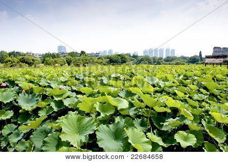 Granja de Lotus