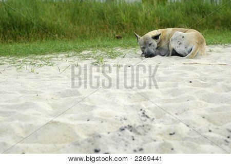 Homeless Dog At Beach