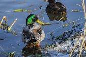 Mallard Drake  Standing In Cold Water And Turned Around (anas Platyrhynchos) poster