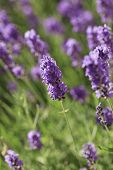 picture of lavender field  - Lavender flowers blooming in a field during summer