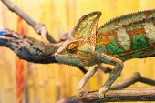 Chameleon On Branch Chameleon On Branch Chameleon On Branch poster