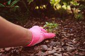 Gardener Hand In Glove Removing Weeds From Garden Bed poster