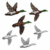 Постер, плакат: Duck Mallard Wild Bird Vector Sketch Icon Drake Duck Flying Symbol For Wildlife Fauna And Zoology O