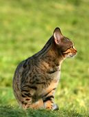 pic of tinkerbell  - the profile of a bengali special breed kitten sitting on the grass - JPG