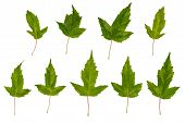Maple Ginnala. Uneven Maple Leaves. Wrong Maple. Maple Leaves Isolated On White Background. A Set Of poster