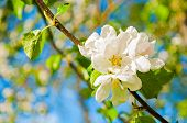 Spring Background With Flowers Of Blooming Spring Apple Tree Under Sunlight, Focus At The Central Ap poster