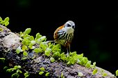 image of babbler  - Lesser Scimitar Babbler a bird stand on branch - JPG