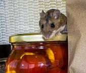 A Wild Brown House Mouse, Mus Musculus, Peeking Out From On Top Of A Jar Lid In A Kitchen Cabinet. T poster
