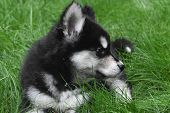 Beautiful Siberian Husky Puppy Resting In The Grass poster