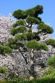 The Botanical Garden in Hamburg. Japanese pine and sakura tree in april afternoon. poster