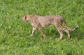 Cheetah, Of The Feline Family. It Is The Fastest Terrestrial Mammal In The World. poster