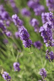 image of lavender field  - Lavender flowers blooming in a field during summer  - JPG