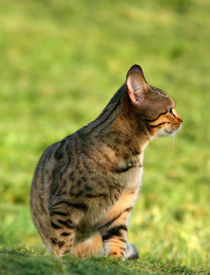 image of tinkerbell  - the profile of a bengali special breed kitten sitting on the grass - JPG